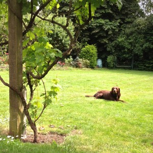 Playing in the garden with the labrador