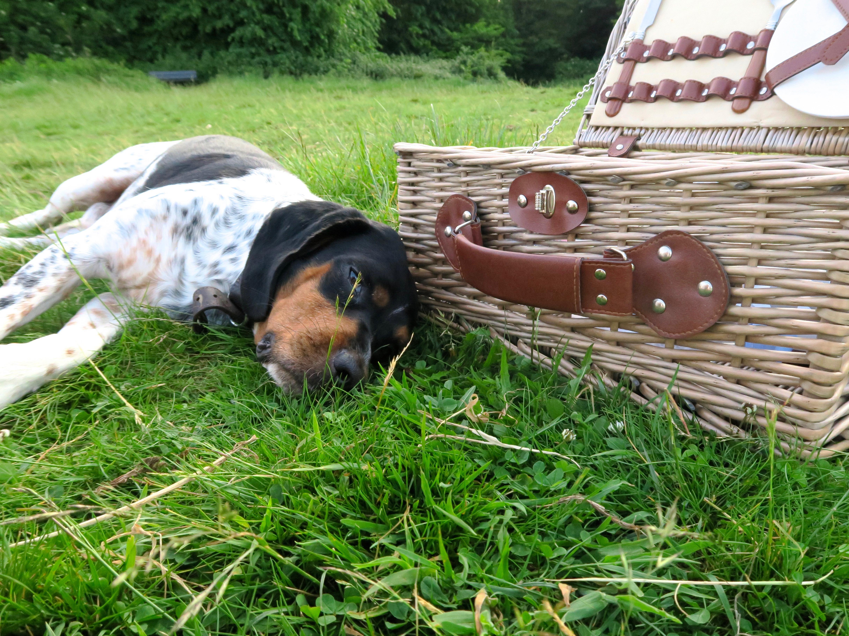 Monty beagle